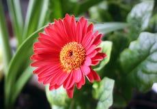 Single red herbera. Red herbera flower close up Stock Photo
