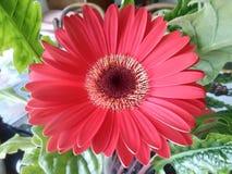 Red herbera. Beautiful flower Stock Images