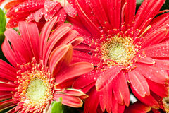 Red herberas with water drops Royalty Free Stock Photo