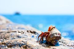 Red hermit crab. Hermit crab coming out from it's hell with ocean in the background Royalty Free Stock Photo