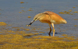 Red heron. With fish in the bill Stock Images