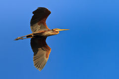 Red heron (ardea purpurea) Royalty Free Stock Photography