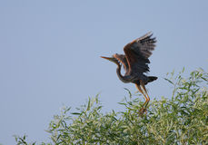 Red heron Ardea purpurea during take off. From Salix tree Stock Images