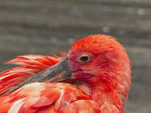 The Red Heron Stock Images