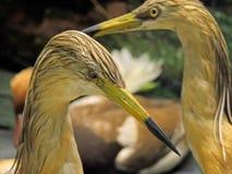 Red heron Stock Photo