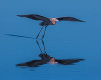 Red Heron in the Flare for Landing Royalty Free Stock Images