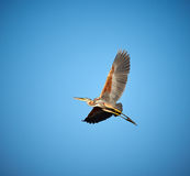 Red heron gliding Royalty Free Stock Images