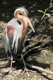 Red heron Royalty Free Stock Image