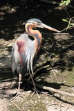 Red heron Stock Photo