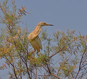 Red heron on the tree. Red heron look out on the tree Stock Photo