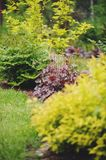 Red heuchera `Chocolate Ruffles` planted in mixed border. With yellow spirea and other plants in summer garden Royalty Free Stock Image
