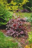 Red heuchera `Chocolate Ruffles` planted in mixed border with yellow spirea. And other plants in summer garden Royalty Free Stock Photography