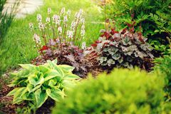 Red heuchera planted in combination with hostas. And astilbes in summer garden Royalty Free Stock Photo