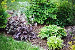 Red heuchera planted in combination with hostas Stock Photography