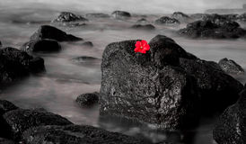 Red Hiacynth long exposure. A black and white long exposure of ocean waves flowing over volcanic rock contrasted with the red Hyacinth Royalty Free Stock Photo