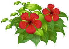 Red hibicus flowers on green bush Royalty Free Stock Photography