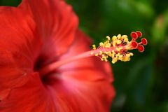 Red Hibiscus Stock Photos