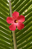 Red Hibiscus. On palm leaf Stock Photography