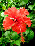 Red Hibiscus. Beautiful Red Hibiscus Tropical Flower Stock Images