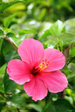 Red hibiscus. Red tropical hibiscus in bloom Stock Images