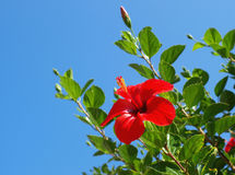 Free Red Hibiscus Royalty Free Stock Photo - 22079705