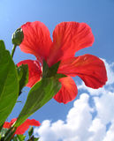 Red hibiscus. Against a blue sky stock images