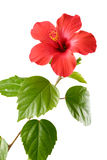 Red Hibiscus Stock Photo