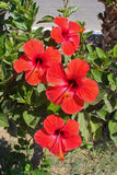 Red hibiscus. On greek island Stock Photo
