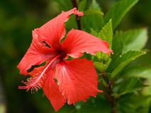 Red Hibiscus. Growing in a tropical forest - Niue island Stock Photos