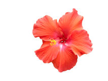 Red Hibiscus against white Royalty Free Stock Images