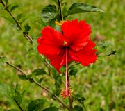 Red hibiscus as seen in a garden Stock Photo