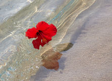 Red hibiscus on the beach Royalty Free Stock Photography