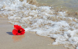 Red hibiscus on the beach Royalty Free Stock Images