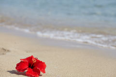 Red hibiscus on the beach Stock Image