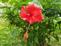 Red Hibiscus. Beautiful Red Hibiscus At The Garden Royalty Free Stock Image