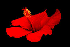 Red Hibiscus on Black Background Royalty Free Stock Images