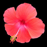 Red Hibiscus on a Black Background. A red hibiscus flower on a black background stock photography