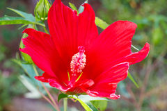 Red Hibiscus Bloom in Garden Stock Images