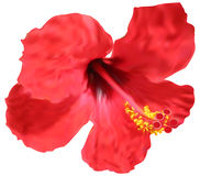 Red hibiscus bloom isolated on white Royalty Free Stock Photos
