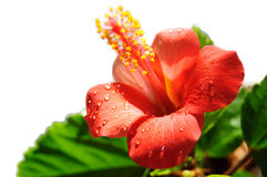 Red hibiscus blooming stock photo
