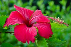 Red Hibiscus blooming among the green leaves Stock Photography