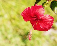 Red Hibiscus Blooming In The Sunshine Stock Photos