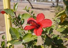 Red hibiscus blossom Stock Photos