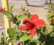 Red hibiscus blossom Royalty Free Stock Photo