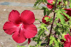 Red hibiscus. Bold red hibiscus in full bloom on vine Royalty Free Stock Images