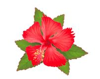Red hibiscus or chaba flower with green leaves isolated on white. Background Royalty Free Stock Photo
