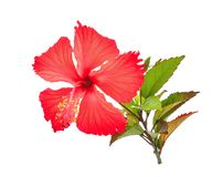 Red hibiscus or chaba flower with green leaves isolated on white. Background Royalty Free Stock Images