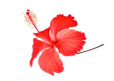 Red hibiscus or chaba flower isolated on white. Background Royalty Free Stock Images