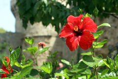 Red Hibiscus and citadel Stock Photo