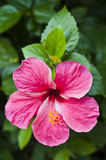 Red Hibiscus. Royalty Free Stock Photography
